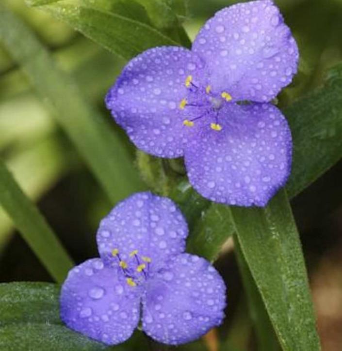 Dreimasterblumen Zwanenberg Blue - Tradescantia andersoniana