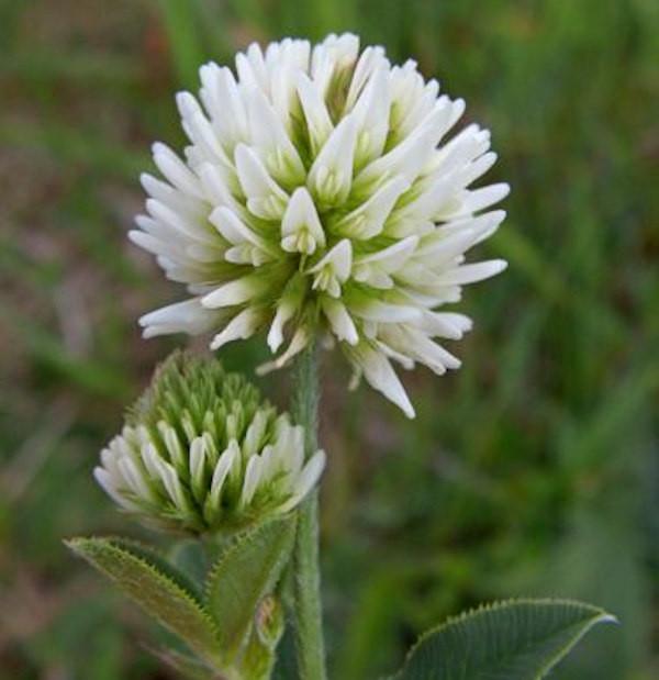Berg-Klee - Trifolium montanum
