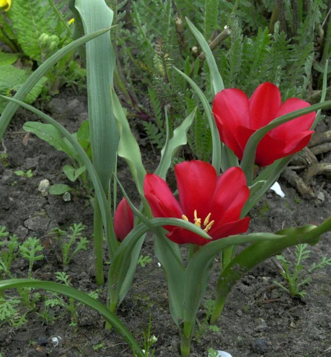 Berg Wildtulpe - Tulipa montana