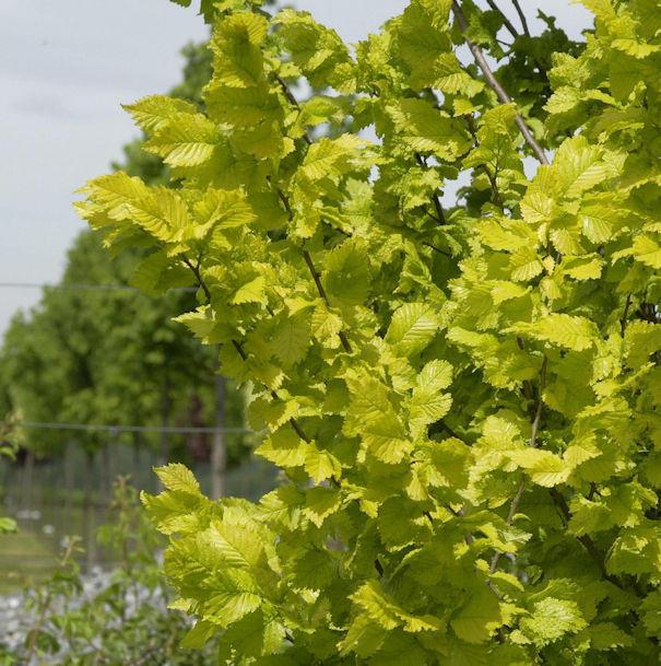 Hochstamm Goldulme 80-100cm - Ulmus carpinfolia