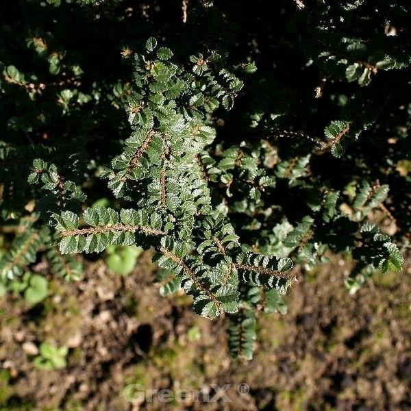 Hochstamm Zwerg Ulme Seiju 50-60cm - Ulmus parvifolia