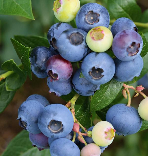 Heidelbeere Blaue Perle 60-80cm - Vaccinium corymbosum
