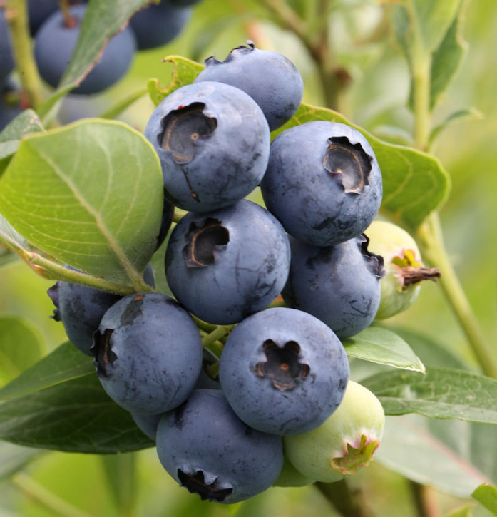 Heidelbeere Hardy Blue 40-60cm - Vaccinium corymbosum