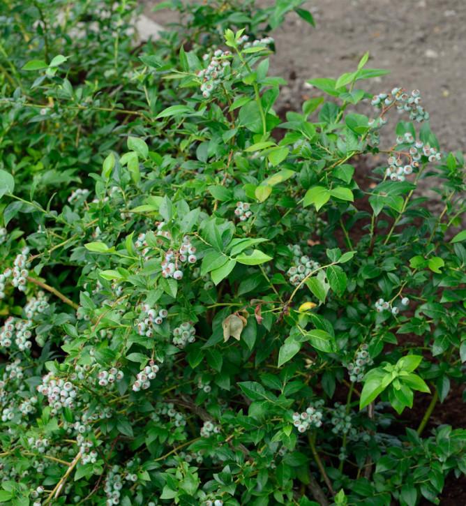 Hochstamm Heidelbeere Darrow 60-80cm - Vaccinium corymbosum