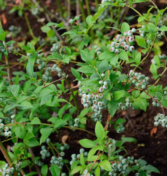 Heidelbeere Puru 40-60cm - Vaccinium corymbosum