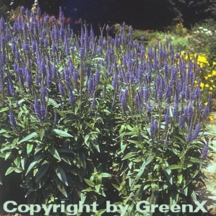 Hoher Wiesenehrenpreis Blauriesin - Veronica longifolia