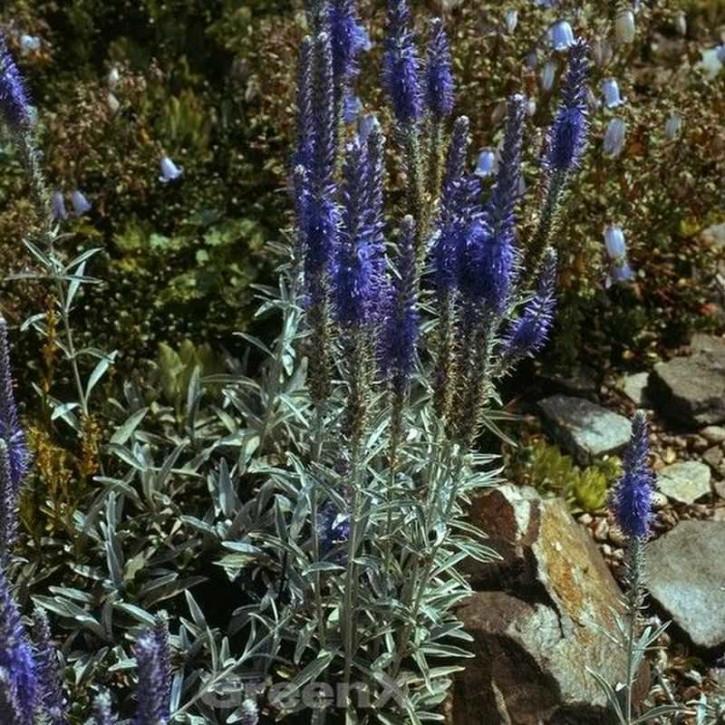 Polsterveronika Silberteppich - Veronica spicata