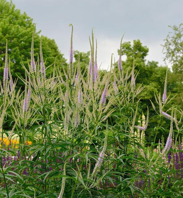 Virginischer Riesen Ehrenpreis Lavendelturm - Veronicastrum virginicum