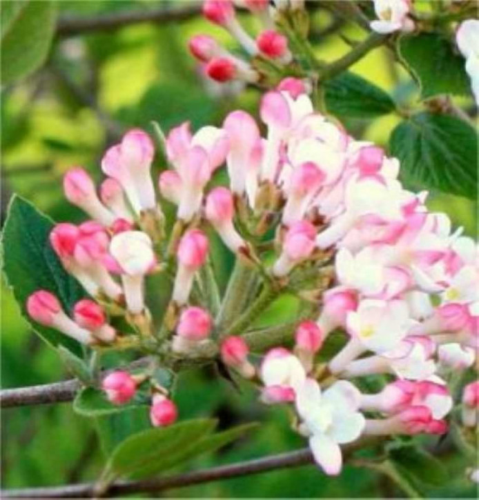 Osterschneeball Mohawk 30-40cm - Viburnum burkwoodii