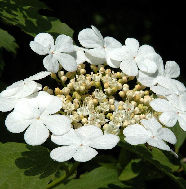 Gemeiner Schneeball 125-150cm - Viburnum opulus