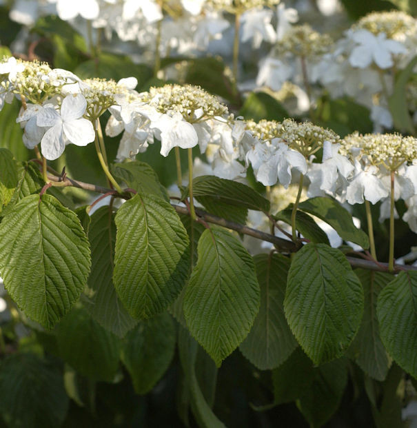 Etagen Schneeball Mariesii 100-125cm - Viburnum plicatum
