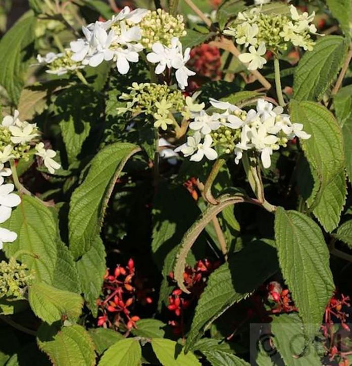 Gefüllter Schneeball Watanabe 30-40cm - Viburnum plicatum