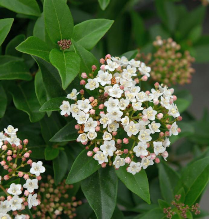 Hochstamm Mittelmeer Schneeball Eve Price 40-60cm - Viburnum tinus