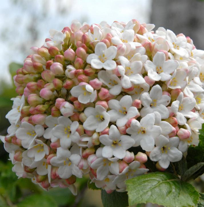Großblumiger Duft Schneeball 25-30cm - Viburnum carlcephalum