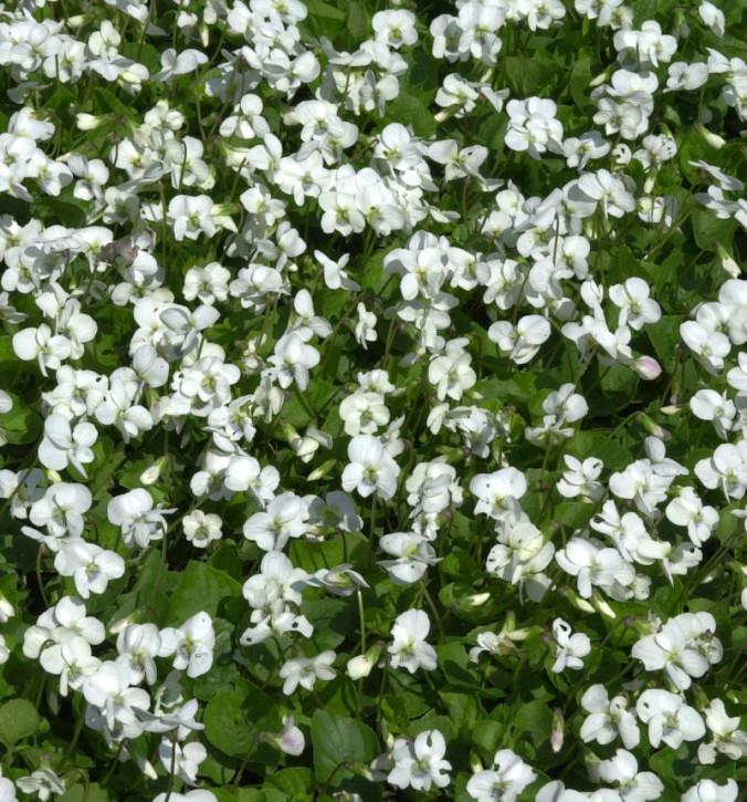 Hornveilchen Weiße Hansa - Viola cornuta