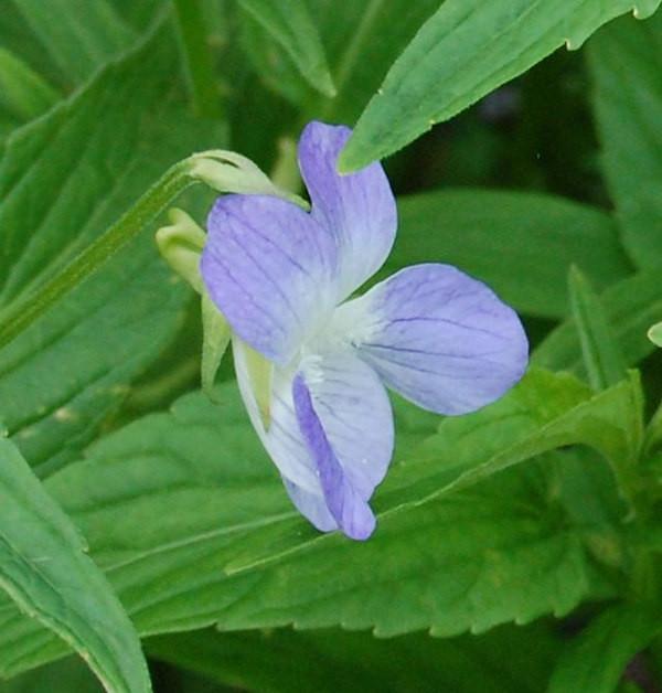 Hohes Veilchen - Viola elatior