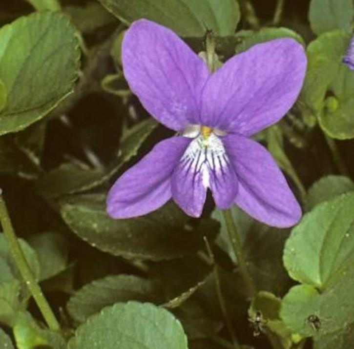 Duftveilchen Königen Charlotte - Viola odorata