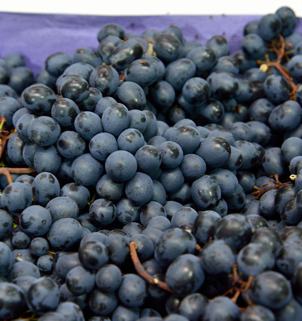große blaue Weinrebe Nero 80-100cm - Vitis