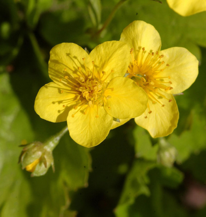 Dreiblättrige Waldsteinie - Waldsteinia ternata