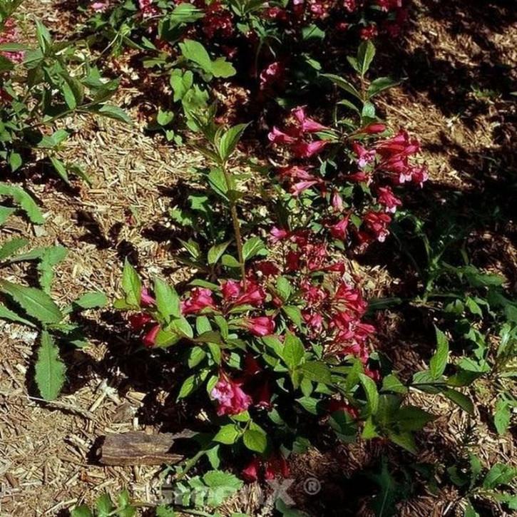 Weigelie All Summer Red 30-40cm - Weigela florida