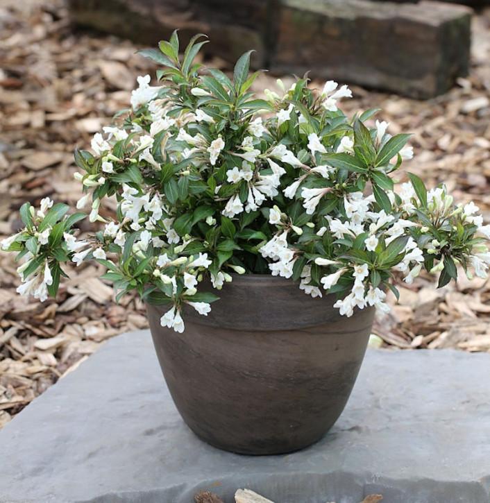 Weigelie Black and White 30-40cm - Weigela florida