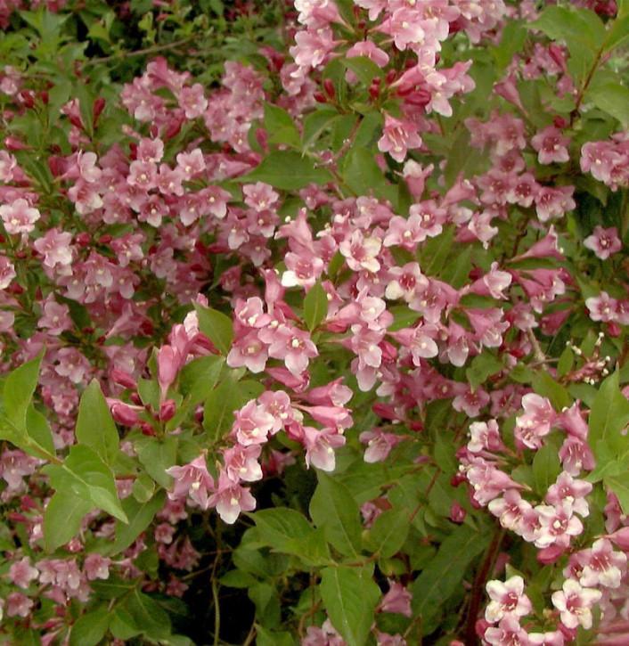 Weigelie Stelzneri 60-80cm - Weigela florida