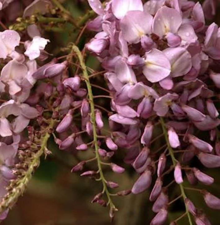 Blauregen Rosea 60-80cm - Wisteria floribunda