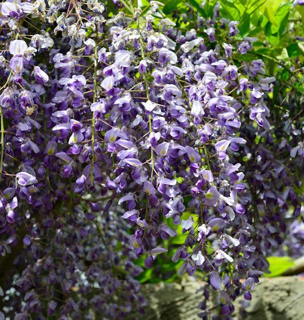 Blauregen 40-60cm - Wisteria floribunda