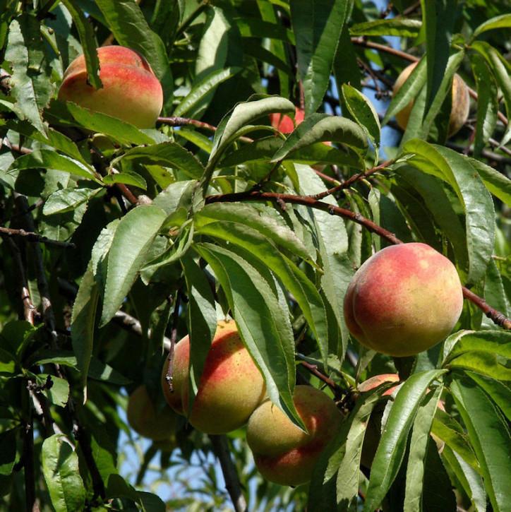 Nektarine Flavortop 60-80cm - Prunus nucipersica