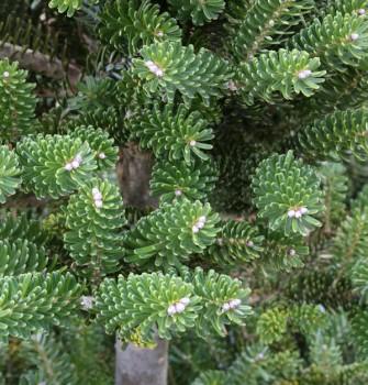 Grüne Zwerg Koreatanne Tordis 40-50cm - Abies koreana