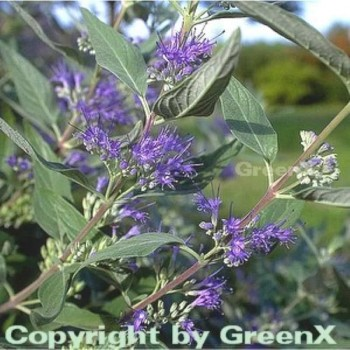 Bartblume Heavenly Blue 30-40cm - Caryopteris clandonensis