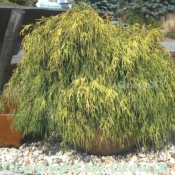 Gelbe Zwerg Faden Zypresse Golden Mop 25-30cm - Chamaecyparis pisifera