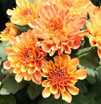 Winteraster Mandarin - Chrysanthemum hortorum
