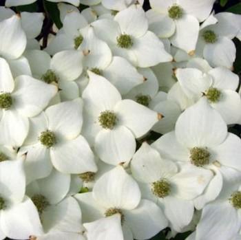 Asiatischer Blüten Hartriegel Moonbeam 60-80cm - Cornus kousa