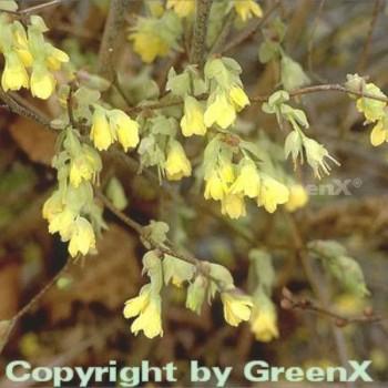 Niedrige Scheinhasel 25-30cm - Corylopsis pauciflora