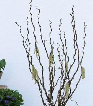 Hochstamm Aufrechte Korkenzieherhasel Twister 80-100cm - Corylus avellana