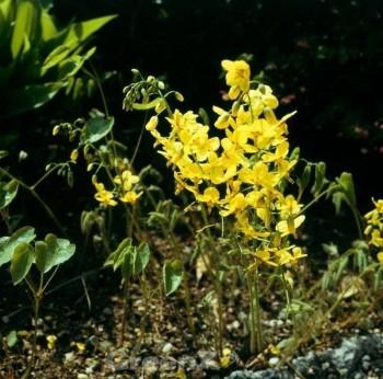 Elfenblume Nachfolger - Epimedium perralchicum