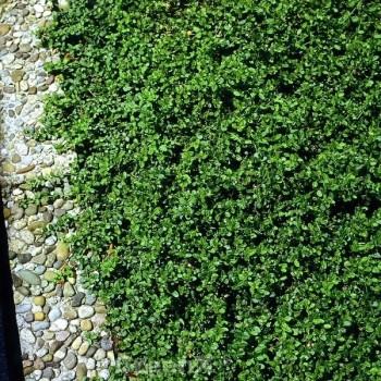 Hochstamm Kleinblättrige Kriechspindel Minimus 60-80cm- Euonymus fortunei