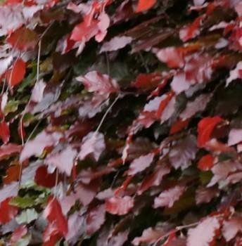 Schwarzroten Zwerg Blutbuche 30-40cm - Fagus sylvatica