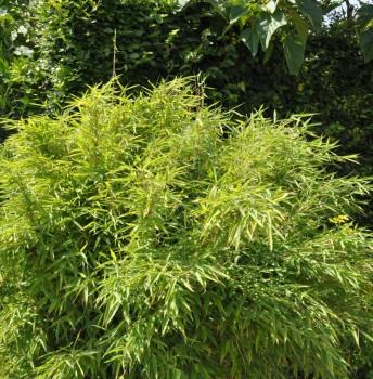 Wasserfall Bambus 100-125cm - Fargesia denudata