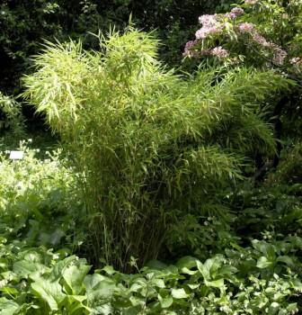 Gartenbambus Jumbo 80-100cm - Fargesia murielae