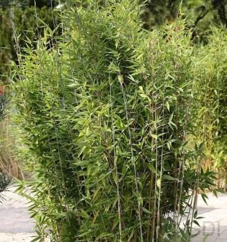 Gartenbambus Obelisk® 100-125cm - Fargesia nitida