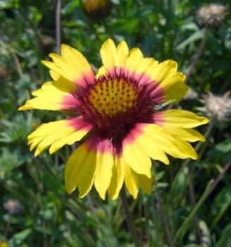 Kokardenblume Amber Wheels - Gaillardia aristata