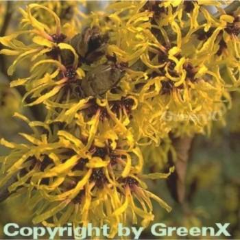 Zaubernuß Primavera 40-60cm - Hamamelis intermedia