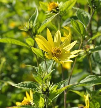Gelbes Sonnenröschen - Helianthemum nummularium