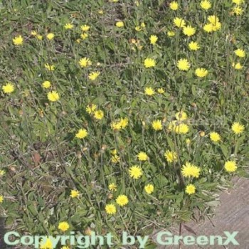 Silberblättriges Mausohr - Hieracium pilosella