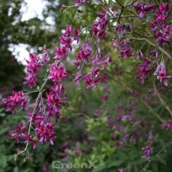 Zweifarbiger Buschklee Summer Beauty 40-60cm - Lespedeza bicolor