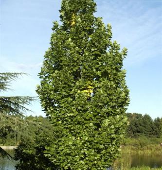 Säulentulpenbaum 100-125cm - Liriodendron tulipifera