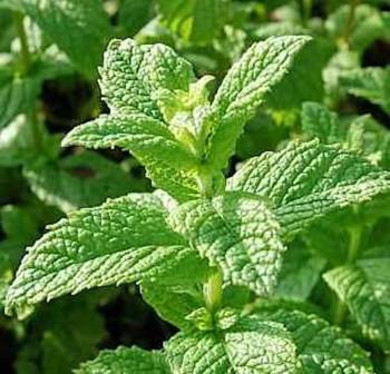 Grüne Minze Crispa - Mentha spicata