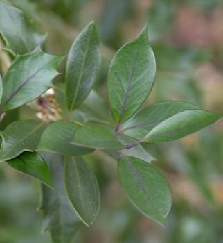 Herbstduftblüte Purpur 60-80cm - Osmanthus heterophyllus